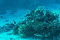Barriera corallina con il corallo del fuoco e pesci esotici al fondo del mare tropicale variopinto subacqueo Fotografia Stock