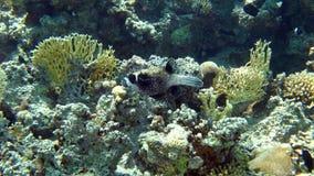 Barriera corallina con il corallo del fuoco, Mar Rosso, Egitto Fotografie Stock