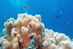 Barriera corallina con il grande corallo del sarcophyton, subacqueo Fotografia Stock