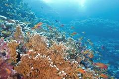 Barriera corallina con il grande corallo giallo del fuoco e pesci al fondo Fotografia Stock