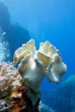 Barriera corallina con il grande cuoio di corallo molle giallo del fungo al fondo del mare tropicale Fotografie Stock