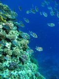 Barriera corallina con il sergente maggiori Fotografia Stock