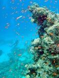 Barriera corallina con l'operatore subacqueo Fotografia Stock Libera da Diritti
