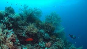 Barriera corallina con le grandi gorgonie Fotografia Stock