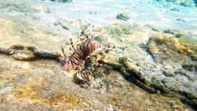 Barriera corallina del lionfish rosso tropicale del pesce subacquea stock footage
