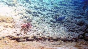 Barriera corallina del lionfish rosso tropicale del pesce subacquea video d archivio