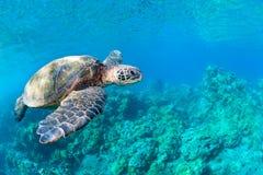 Barriera corallina della tartaruga di mare Immagini Stock Libere da Diritti