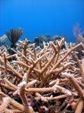 Barriera corallina di Staghorn Fotografia Stock