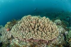 Barriera corallina dura a Ambon, Maluku, foto subacquea dell'Indonesia Fotografia Stock