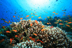 Barriera corallina e pesci tropicali Fotografia Stock