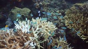 Barriera corallina e pesci tropicali filippine stock footage