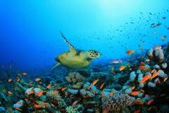 Barriera corallina e tartaruga Immagini Stock Libere da Diritti