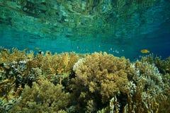 Barriera corallina poco profonda Fotografia Stock