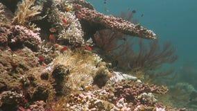 Barriera corallina prospera viva con vita marina ed i banchi di pesci, Bali archivi video