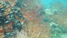 Barriera corallina prospera viva con vita marina ed i banchi di pesci, Bali stock footage