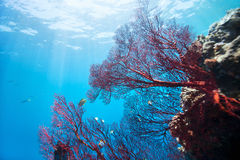 Barriera corallina subacquea Immagini Stock Libere da Diritti