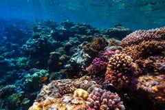 Barriera corallina subacquea del Mar Rosso Immagine Stock