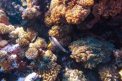 Barriera corallina subacquea del Mar Rosso Fotografia Stock