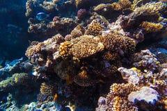 Barriera corallina subacquea del Mar Rosso Immagini Stock Libere da Diritti