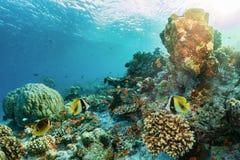 Barriera corallina subacquea variopinta con il pesce tropicale fotografia stock