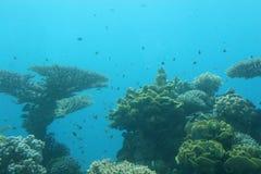 Barriera corallina. Subacqueo Fotografia Stock