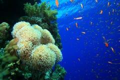 Barriera corallina tropicale sana Immagini Stock