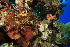 Barriera corallina tropicale sana Immagine Stock