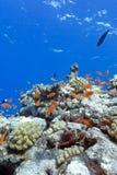 Barriera corallina variopinta con i coralli duri ed i pesci esotici Immagine Stock Libera da Diritti