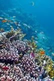 Barriera corallina variopinta con i pesci esotici al fondo del mare tropicale Immagine Stock Libera da Diritti
