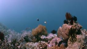 Barriera corallina variopinta 4k di Raja Ampat Indonesia video d archivio