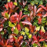 Barriera di autunno, recinto, colori di caduta, colori Fogli rossi Immagine Stock