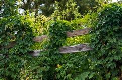 Barriera di legno rurale coperta di viti su una mattina soleggiata di estate Fotografie Stock