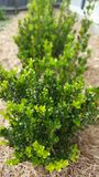 Barriera giapponese del Buxus immagine stock