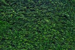 Barriera verde del giardino Fotografie Stock