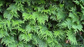 Barriera verde del thuja stock footage