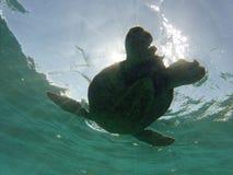 Barriga da tartaruga de mar verde Fotos de Stock Royalty Free