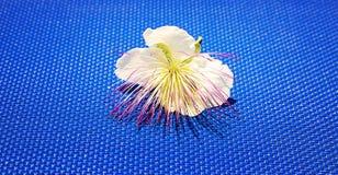 Barringtonia Ασιάτης, Barringtonia Asiatica Στοκ φωτογραφία με δικαίωμα ελεύθερης χρήσης