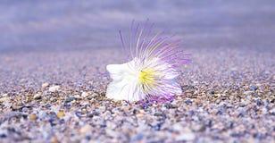 Barringtonia Asiatica Στοκ Φωτογραφίες