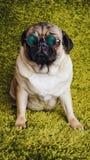 Barro amasado de la raza del perrito que descansa sobre la alfombra, imitando la hierba fotos de archivo