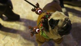 Barro amasado del cervatillo que demuestra el traje agradable de la Navidad en el partido del boutique de la moda del perro almacen de metraje de vídeo