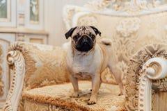 Barro amasado en un sofá que mira la cámara Fotografía de archivo