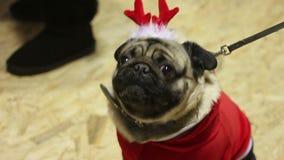 Barro amasado lindo que lleva el traje festivo, demostrando la moda canina en la exposición canina metrajes