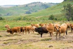 Barrosa母牛 库存图片