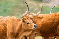 Barrosa母牛 免版税库存照片