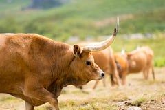 Barrosa krowa Fotografia Royalty Free