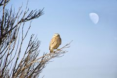 Barrow owl perched on a brach. In the park Royalty Free Stock Photos