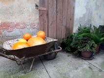 Barrow and pumpkins. Still life of barrow and pumpkins. Old doors and plants in the garden. Autumn and Halloween stuff stock photography