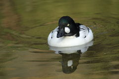 Barrow's goldeneye Stock Photography