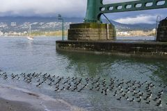 Barrow`s goldeneye sea ducks swim just off the trail at Stanley park, Vancouver, BC. Barrow`s goldeneye sea ducks swim under the Lion`s Gate bridge in Stanley stock photography