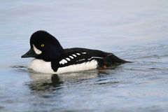 Barrows Goldeneye Royalty Free Stock Photography